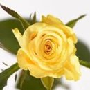 130x130 sq 1181166466184 yellowrose