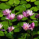 130x130 sq 1201554604675 waterlilies
