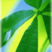 220x220 sq 1224522762038 leaf