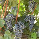 130x130_sq_1355876679206-cabernetgrapes20122