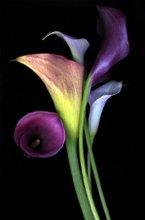 220x220 1227243538095 calla lilies