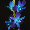 130x130 sq 1384325055015 blue dendrobium orchid dy