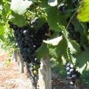 130x130 sq 1233849692326 openhouse.grapes,norah054