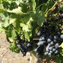130x130 sq 1233849697982 openhouse.grapes,norah055