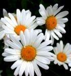 220x220 1234024751144 daisy