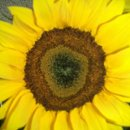 130x130 sq 1338607213754 sunflowerswww.perlafarms.com