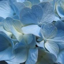 220x220 sq 1236044803299 blueflower