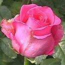 130x130 sq 1239828765906 roseshotpinkravel