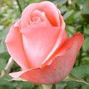 130x130 sq 1239828826578 rosespinkmarlisse