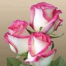 130x130 sq 1239829914906 rosesbicolorpinklaguna.1