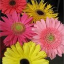 130x130 sq 1239830089890 mixedgerberas2