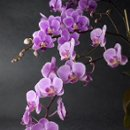 130x130 sq 1248027785276 orchids1