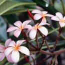 130x130 sq 1200441756188 frangipaniflowers