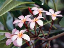 220x220 1200441756188 frangipaniflowers