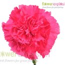 130x130 sq 1364228195770 hotpinkcarnations