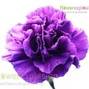 130x130 sq 1364228199987 purplecarnations