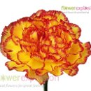 130x130 sq 1364228211809 yellowpurplecarnations