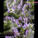 130x130 sq 1365091729871 streamblue limonium