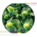 130x130_sq_1365091745017-greenhypericum