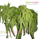 130x130 sq 1369848303920 greenamaranthus2