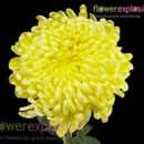 130x130 sq 1369848354952 yellow mums