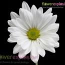 130x130 sq 1369848363902 white daisiy2