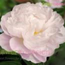 130x130 sq 1372775266520 gardenia peony