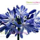 130x130 sq 1373986739728 blueagapanthus