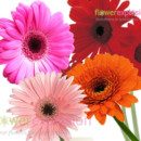 130x130 sq 1373986773814 assortedgerberas