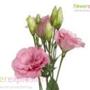 130x130 sq 1373986805712 lisianthus pink b