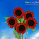 130x130 sq 1373986843001 mini sunflowers red