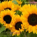 130x130 sq 1373986846619 yellow sunflowers2