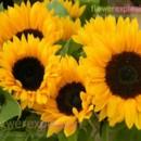 130x130 sq 1373986846619 yellow sunflowers2