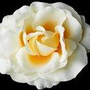 130x130 sq 1278610208087 classicbuttercreamrosebridalflowerhairclip