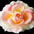 130x130 sq 1278610244993 pinksherbetgardenroseflowerhairclip
