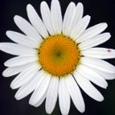 130x130 sq 1266286950088 daisy