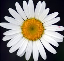 220x220 1266286950088 daisy