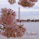 130x130 sq 1263986538558 washingtonmonumentcherryblossoms