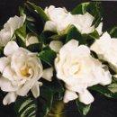 130x130 sq 1289344050653 gardenia2