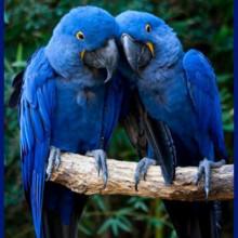 220x220 sq 1382998807702 blue parrot
