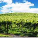 130x130 sq 1355852789669 vineyardpicturepardini