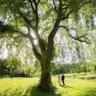 96x96 sq 1488147741605 june 4 2016 willow tree