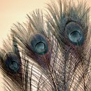 Black peacock feathers with eyes. These professionally bleached & dyed feathers have jet black stems and fronds, with just a hint of the natural iridescence in the eyes. Available in two lengths, 10-15