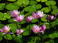 220x220 1236708291131 waterlilies