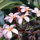 130x130 sq 1271885492256 frangipaniflowers