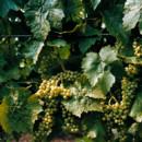 130x130 sq 1476979449712 03dana siles carolyns sakonnet vineyard wedding ph