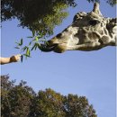 130x130 sq 1301002701823 giraffefeeding