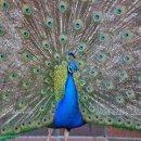 130x130 sq 1351784879290 peacock