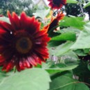 130x130 sq 1414668974988 sunflowers