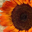 130x130 sq 1219120157357 garden sunflower 5 small